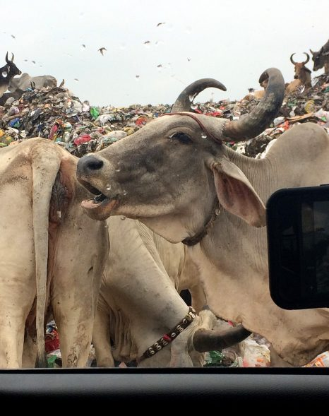 India cow trash